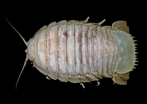 LIPI Temukan Spesies Baru Hewan Laut Dijuluki Marine Scavengers