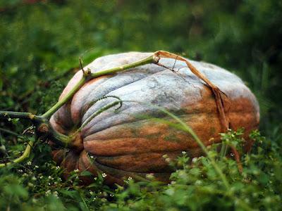 Una zucca nell'orto autunnale.