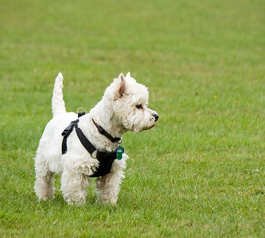 West Highland White Dog Breed Information Facts Photos and More