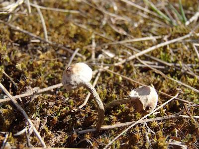 Tulostoma brumale berłóweczka zimowa