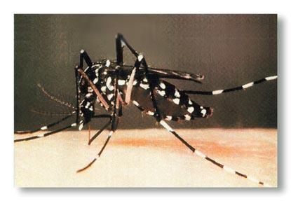 ivanildosantos gambar nyamuk