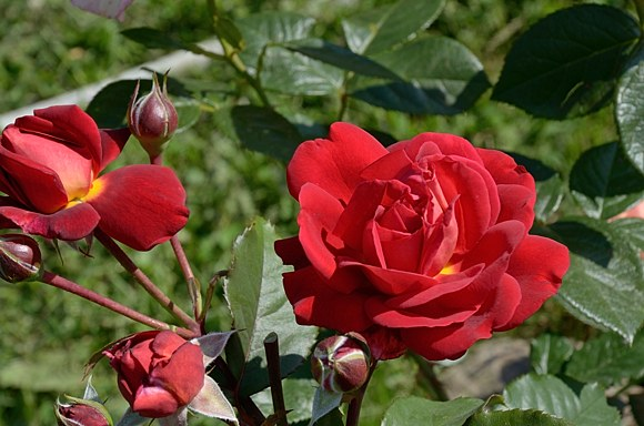 Bicentenaire de Guillot сорт розы фото купить саженцы Минск питомник