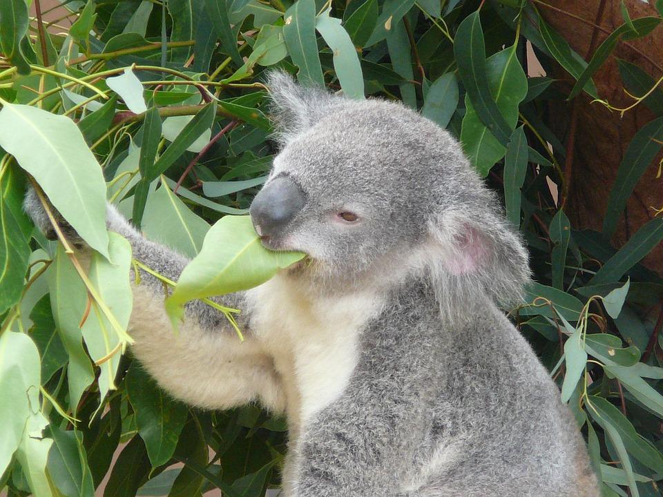 Interesting Facts about Koala Bear | कोआला भालू के बारे में रोचक तथ्य | पेड़ पर सोते भालू