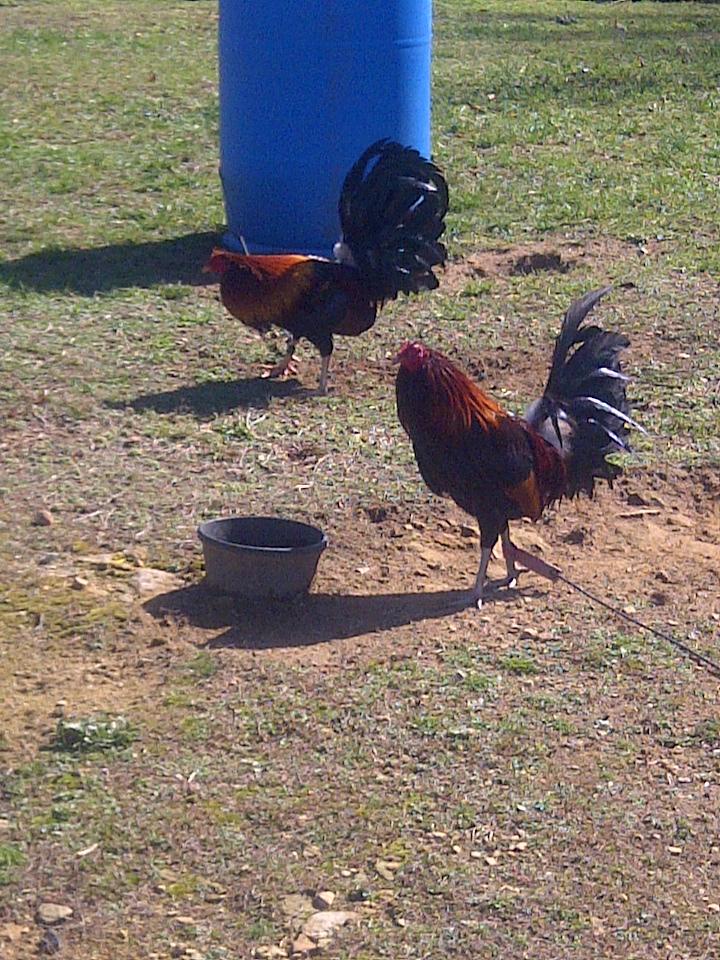 Keeping Chickens: American Gamefowl