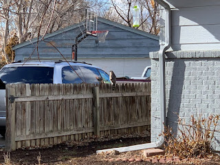 Falcon sitting on chest high fence next to a minivan