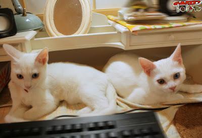 オッドアイ双子猫