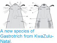 http://sciencythoughts.blogspot.co.uk/2014/01/a-new-species-of-gastrotrich-from.html