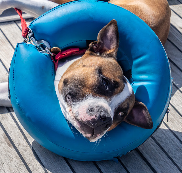 Photo of Ruby wearing her inflatable collar