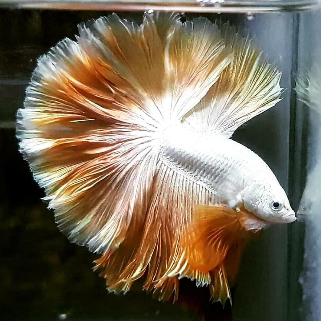 Ikan Hias: Gold Dragon Halfmoon Rosetail