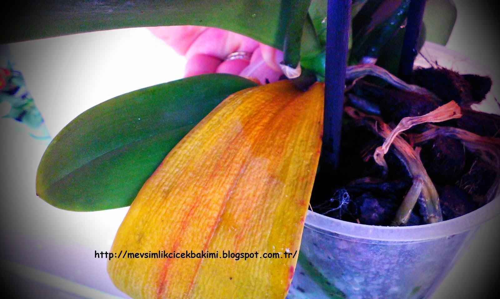 Bahçecilik Sırları: sonbaharda gozbakır dikmek 86