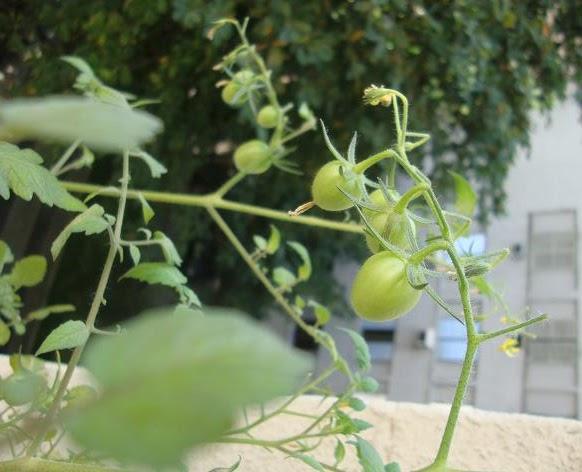 Tomates cereja na horta caseira