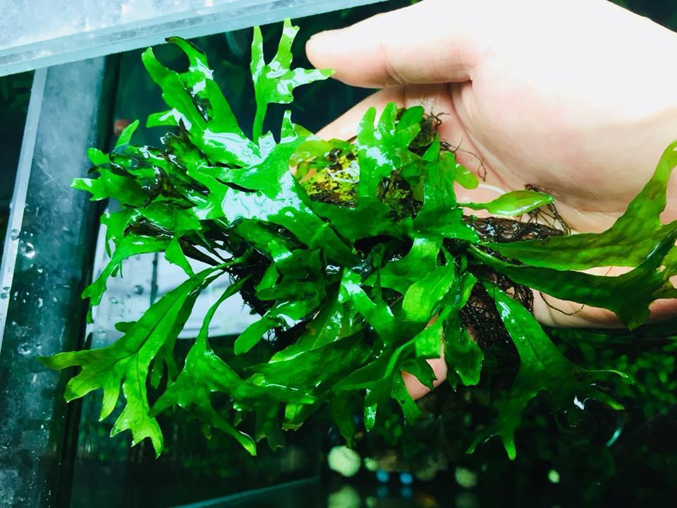 Cây thủy sinh dương xỉ Thor của bạn Anh Nguyễn