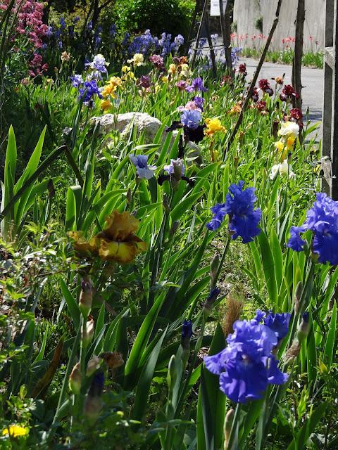 Floraisons 2016 de nos grands iris barbus et Bilan - Page 2 DSC07421