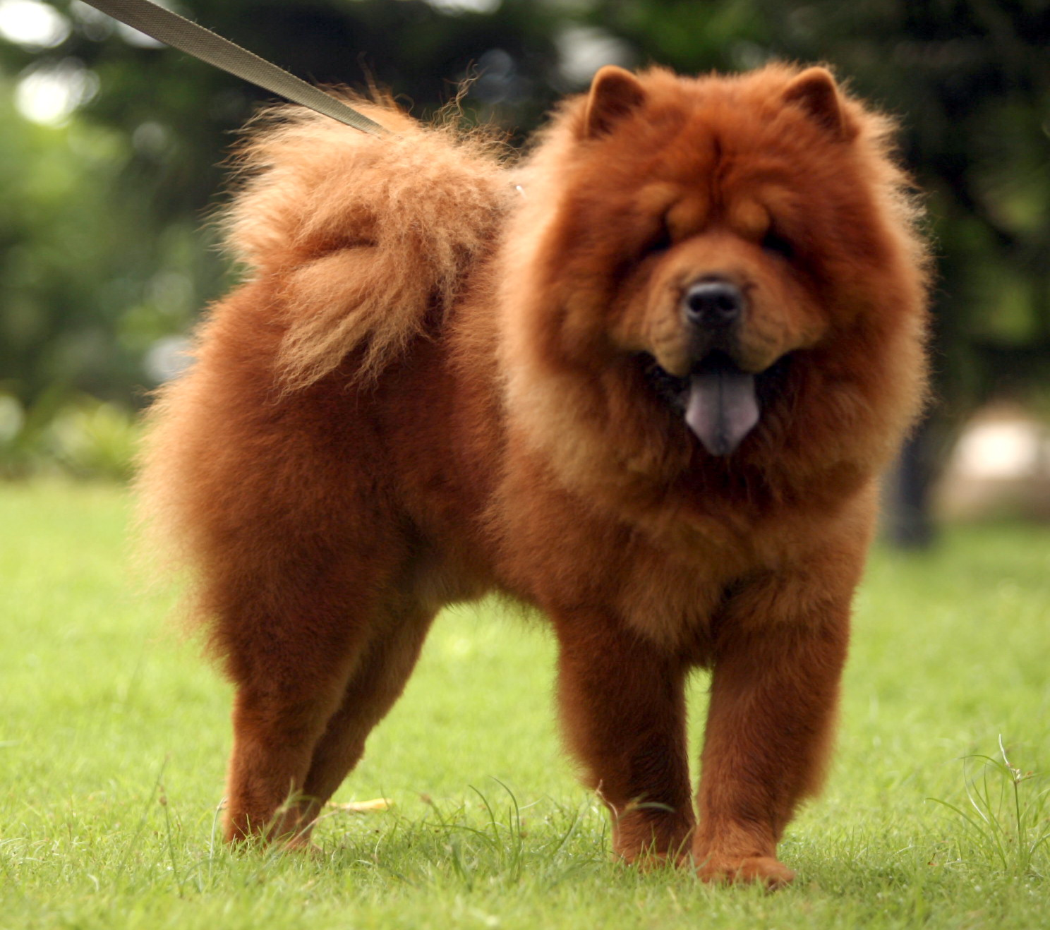 chow chow the life of animals. Black Bedroom Furniture Sets. Home Design Ideas