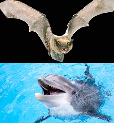 Perbedaan sistem pendengaran dari kelelawar dan lumba-lumba adalah frekuensi bunyi yang bisa didengar dan cara mereka dalam berkomunikasi dan menentukan lokasi.  Perbedaan Sistem Pendengaran Kelelawar dan Lumba-Lumba