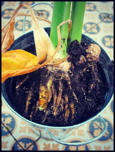 home grown turmeric, The Secret Garden Club