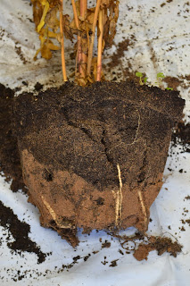 Sand lying at bottom of plant root ball