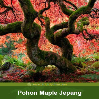 ciri ciri pohon maple jepang