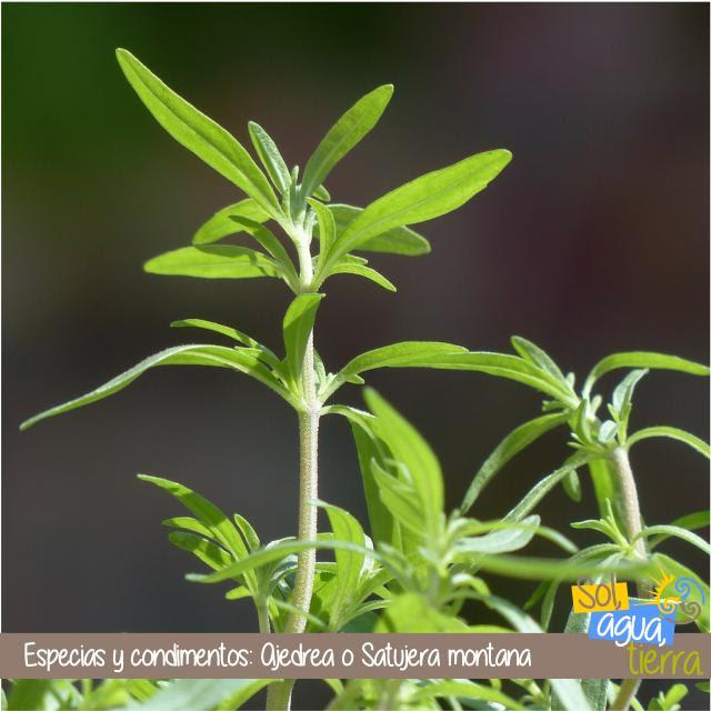Ajedrea o satujera montana, como usar esta especia en la en cocina.