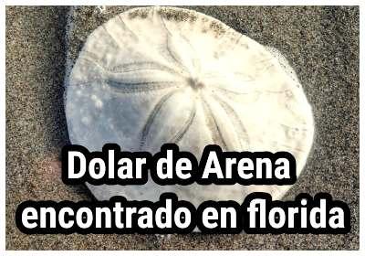 Dólar de arena encontrado en la costa de Florida