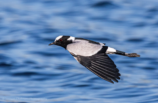 Blacksmith Plover in Flight- Woodbridge Island Cape Town