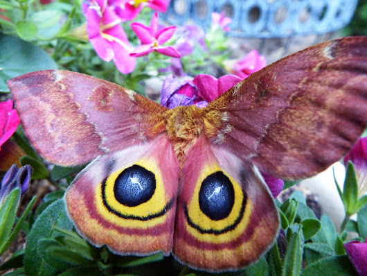 Beautiful Moth Identified