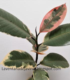 gomero-variegado