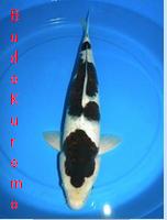 Ikan Hias Air Tawar Termahal jenis koi budo kuromo