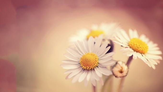 Papel De Parede Hd Celular Flor Daisy