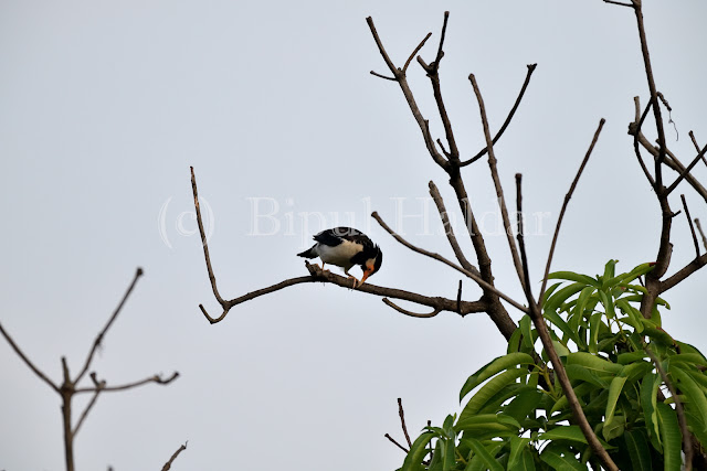 Pied Myna Cleaning Beak