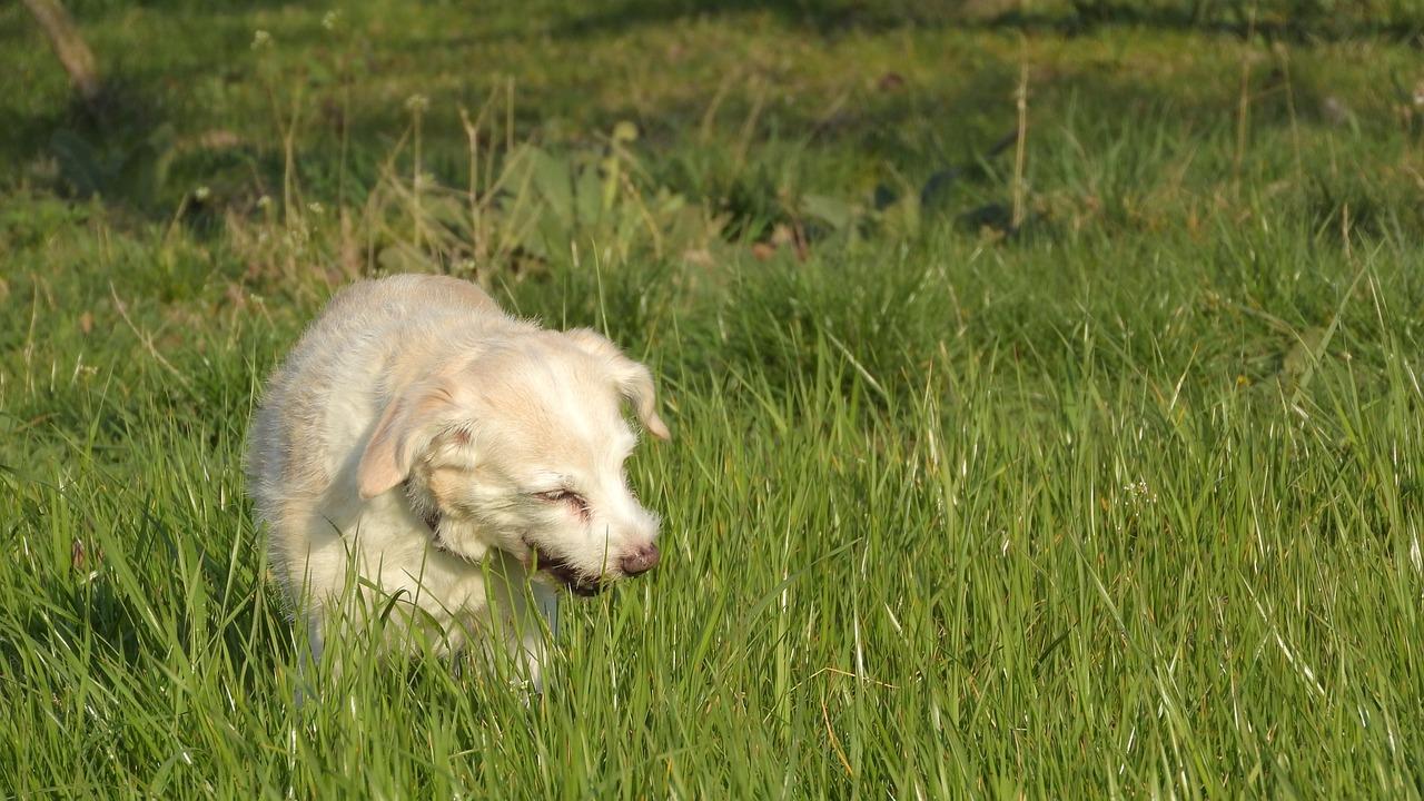 Mon chien mange de l'herbe, comment puis-je l'empêcher de le faire?