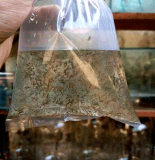 Pakan ikan cupang jentik nyamuk