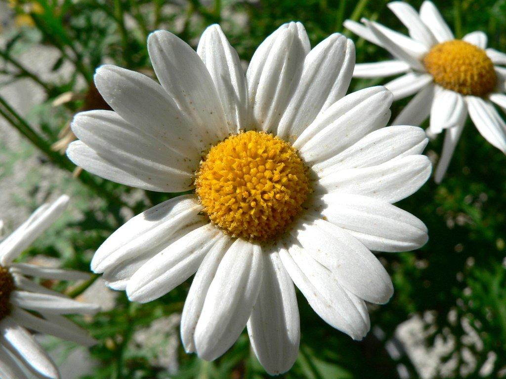 Maritza Craig: daisy flower