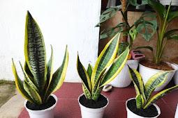Manfaat tanaman hias lidah mertua untuk membersihkan udara
