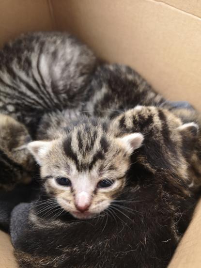 tabby kittens in a box