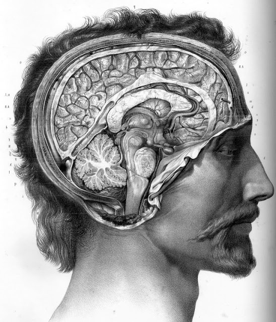 Drawing of the human brain inside a person's head