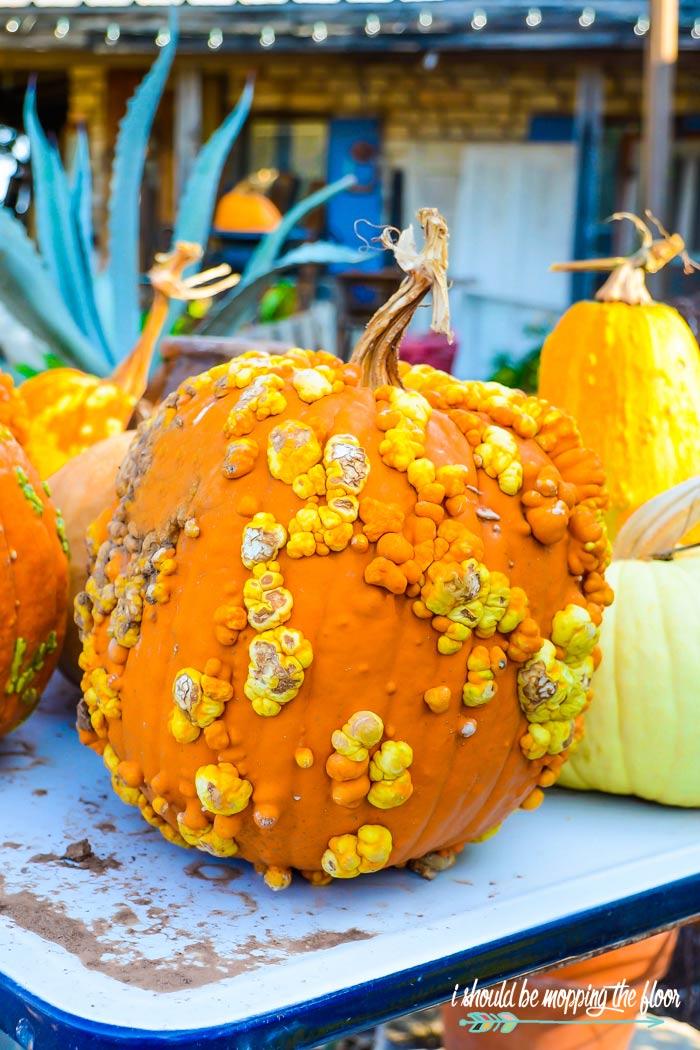 Pumpkins with warts