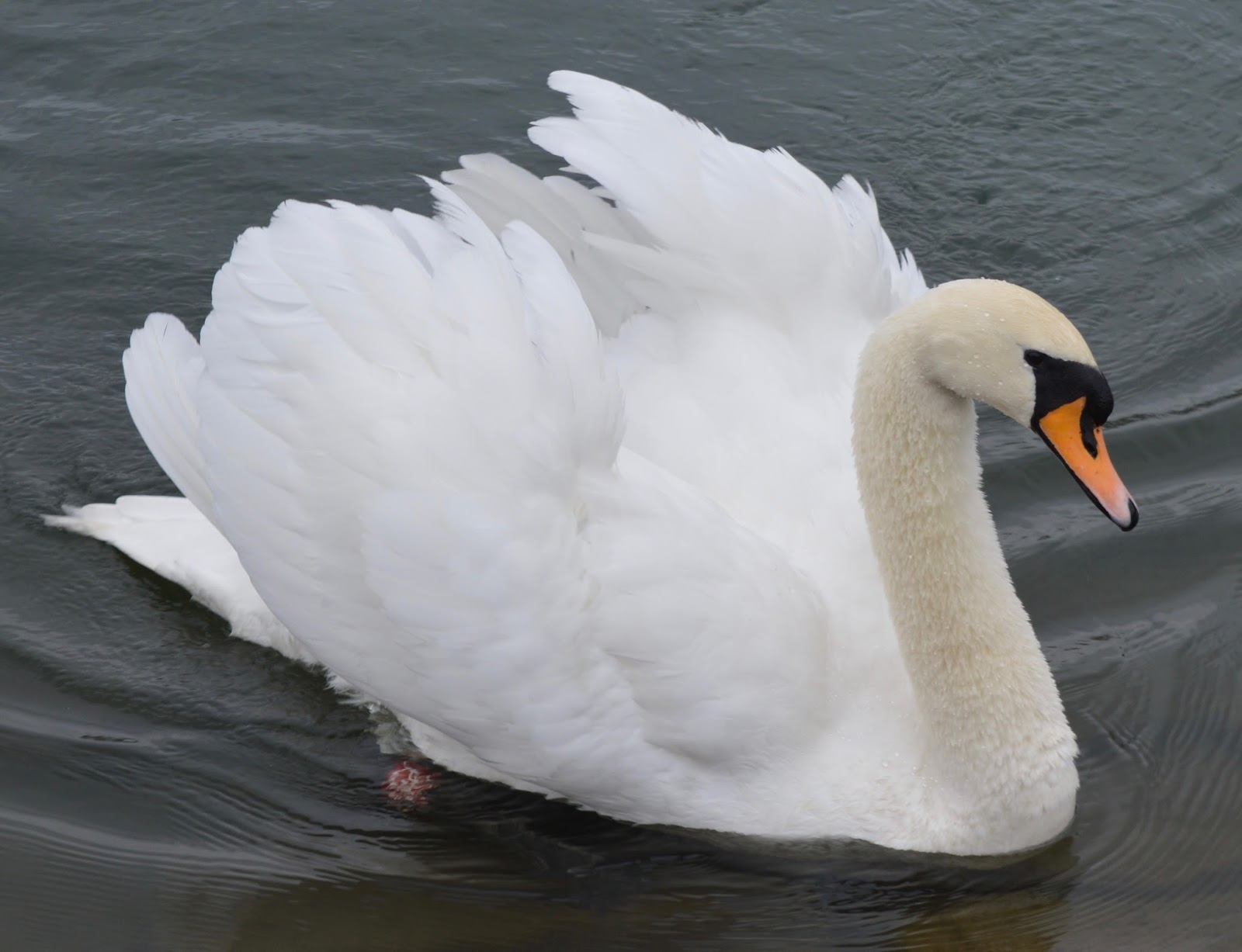 A swan at Saltwell Park