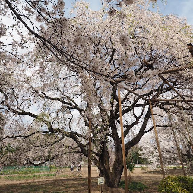 身延山の桜