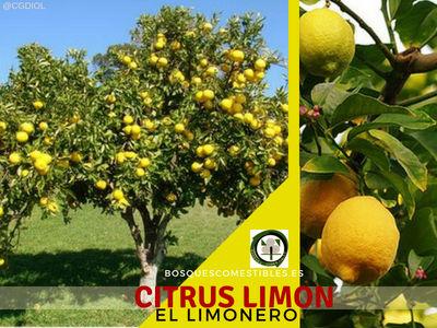 El Limonero, Citrus Limon es un árbol cítrico imprescindible en los Bosques de Alimentos