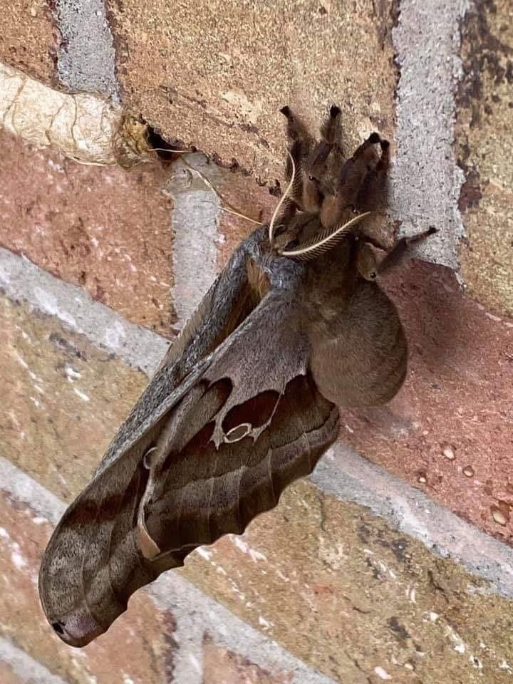 Tarántula con alas, la criatura que está aterrorizando en redes sociales; ¿es real?