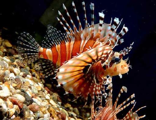 ядовитые рыбы крылатки опасны для человека