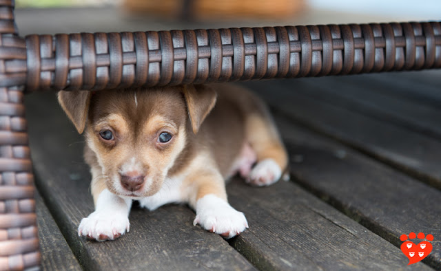 A shy puppy hiding under a table on the deck
