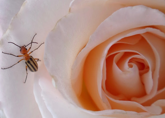 Rose and insect