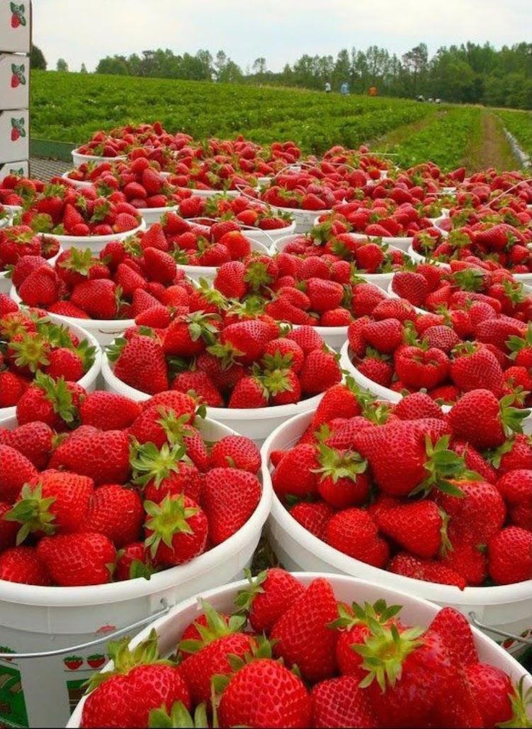 Benih Bibit Biji Giant Strawberry Stroberi Super Jumbo Import Aceh