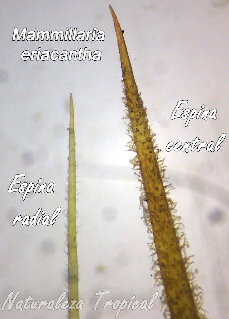 Fotografía con aumento (microscopio) donde se observa la presencia de pelos en las espinas centrales y radiales del cactus Mammillaria eriacantha