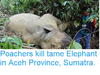 https://sciencythoughts.blogspot.com/2018/06/poachers-kill-tame-elephant-in-aceh.html