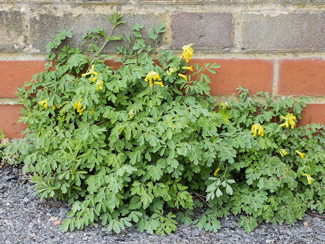 Yellow Corydalis, Pseudofumaria lutea.  Saville Row, Hayes, 25 April 2016.