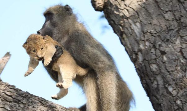 khỉ đầu chó tìm diệt sư tử