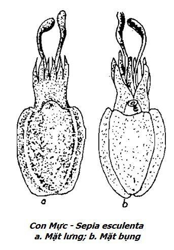 Hình vẽ Con Mực - Sepia esculenta - Nguyên liệu làm thuốc Chữa Đau Dạ Dày